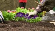 Sadzenie kwiatków na rabacie