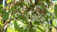 Suche kwiaty drzewa owocowego