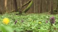 Kokorycze i jaskry w lesie