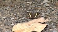Kostaryka - motyl z rodziny paziowatych