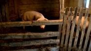 Świnia w chlewie