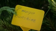 "Żółta tabliczka z napisem ""P. mugo sunshine"""
