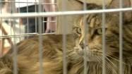 Kot maine coon w klatce
