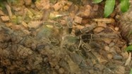 Pająk ptasznik w terrarium