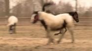Koń biegający po padoku