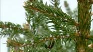 Ośnieżone gałęzie świerka