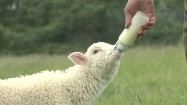 Młoda owca karmiona butelką