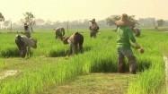 Praca na polu ryżowym