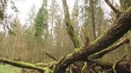 Konary drzew porośnięte mchem