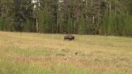 Bizon w parku Yellowstone