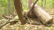 Pocięty pień drzewa w lesie