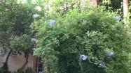 Roślina o fioletowych kwiatkach