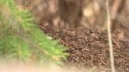 Mrówki w mrowisku