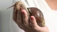 Afrykański ślimak Achatina na dłoni