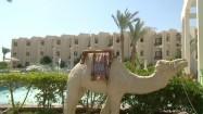 Rzeźba wielbłąda w Hurghadzie