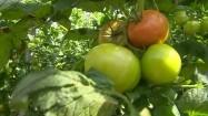 Niedojrzałe pomidory na krzaku