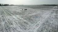 Stado żubrów na polu