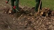 Odkopywanie krzewów na wiosnę