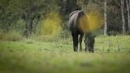 Koń skubiący trawę