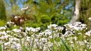 Kwiaty rzeżuchy łąkowej