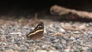Odlatujący motyl
