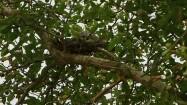 Dwa gołębie w gnieździe