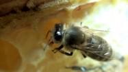 Pszczoła robotnica