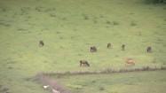 Kuba - krowy na pastwisku