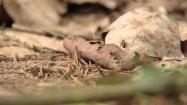 Mrówki na suchych liściach