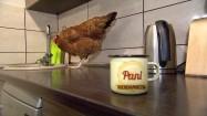 Kura na blacie kuchennym