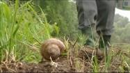 Zbieranie ślimaków