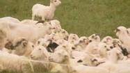 Kozy na pastwisku