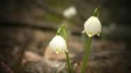 Kwiaty śnieżycy wiosennej