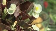 Kwiaty begonii