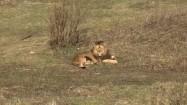 Lew leżący na trawie