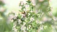 Pszczoła zapylająca roślinę