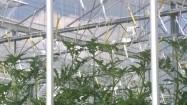 Uprawa papryki w szklarni