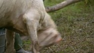 Młoda koza