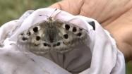 Motyl niepylak apollo