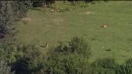 Muflony