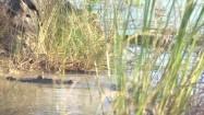 Krokodyle pływające przy brzegu