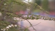 Gałęzie tawuły wczesnej