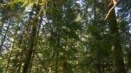 Drzewa iglaste w lesie