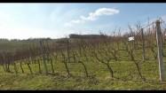 Plantacja winorośli w Polsce