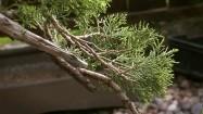 Bonsai - gałąź jałowca