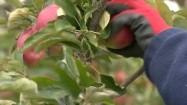 Zrywanie jabłka z gałęzi