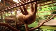 Młody leniwiec w klatce