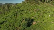 Plantacja herbaty na Sri Lance