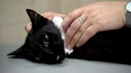 Czarny kot u weterynarza