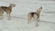 Psi zaprzęg